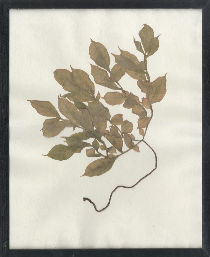 herbarium_temporis_II