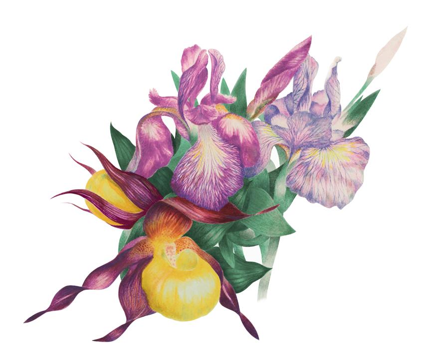 frauenschuh+lilien2