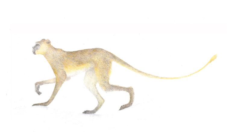 meerkatze-vt